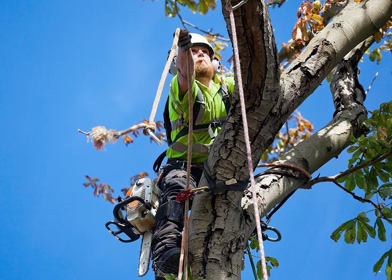 Baumpflege mit Hilfe von Seilklettertechnik