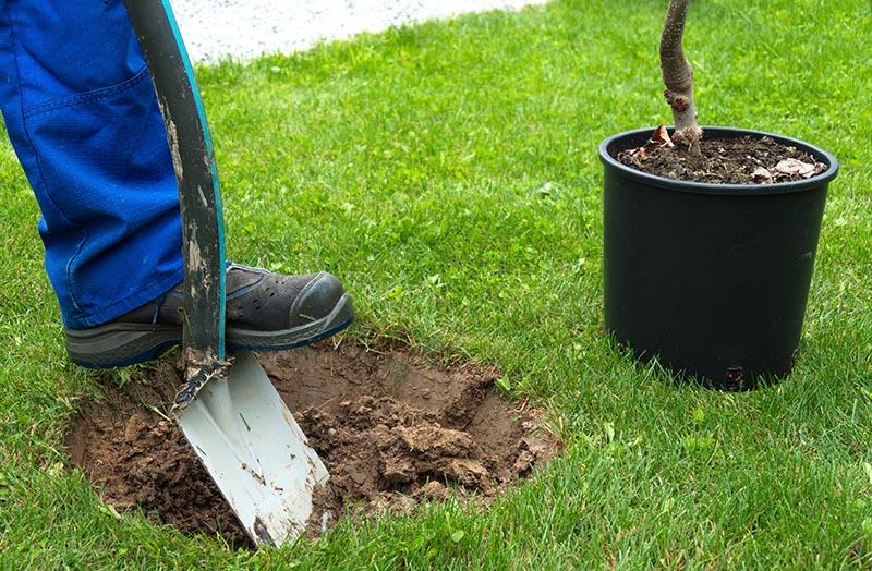 Ersatzpflanzung Baum